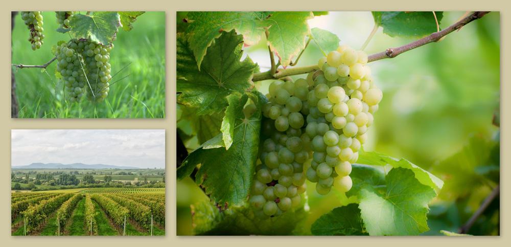 Weißwein aus der Pfalz vom Weingut Friedrichshof in Ingenheim
