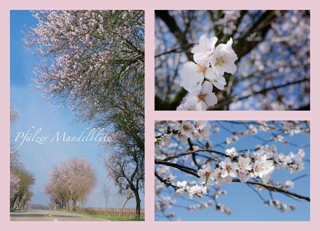Genießen Sie die Pfälzer Mandelblüte an der Südlichen Weinstraße in den Ferienwohnungen vom Weingut Friedrichshof