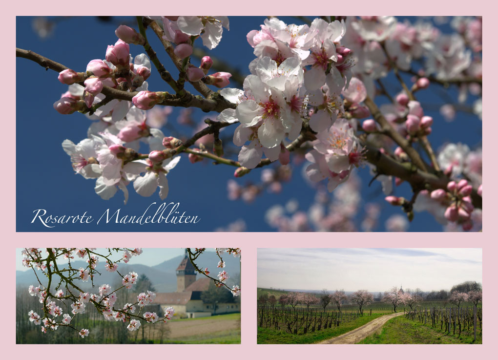 Mandelblüte in der Pfalz - Ferienwohnungen beim Weingut Friedrichshof an der Südlichen Weinstraße